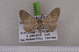(Eupithecia demetata - BC NP 0485)  @13 [ ] Copyright (2010) Axel Hausmann/Bavarian State Collection of Zoology (ZSM) SNSB, Zoologische Staatssammlung Muenchen