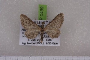 (Eupithecia NP03kg - BC NP 0499)  @12 [ ] Copyright (2010) Axel Hausmann/Bavarian State Collection of Zoology (ZSM) SNSB, Zoologische Staatssammlung Muenchen