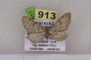 (Eupithecia hilariata - BC NP 0511)  @13 [ ] Copyright (2010) Axel Hausmann/Bavarian State Collection of Zoology (ZSM) SNSB, Zoologische Staatssammlung Muenchen