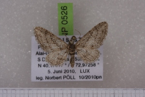 (Eupithecia decipiens - BC NP 0526)  @13 [ ] Copyright (2010) Axel Hausmann/Bavarian State Collection of Zoology (ZSM) SNSB, Zoologische Staatssammlung Muenchen