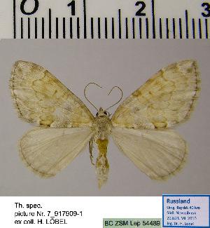 (Thera HL01Ru - BC ZSM Lep 54489)  @11 [ ] Copyright (2011) Axel Hausmann/Bavarian State Collection of Zoology (ZSM) SNSB, Zoologische Staatssammlung Muenchen