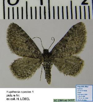 (Eupithecia HL01Ru - BC ZSM Lep 54507)  @13 [ ] Copyright (2011) Axel Hausmann/Bavarian State Collection of Zoology (ZSM) SNSB, Zoologische Staatssammlung Muenchen