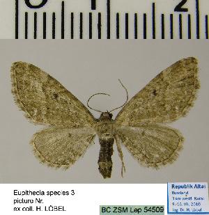 (Eupithecia HL03Ru - BC ZSM Lep 54509)  @13 [ ] Copyright (2011) Axel Hausmann/Bavarian State Collection of Zoology (ZSM) SNSB, Zoologische Staatssammlung Muenchen