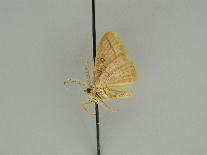 (Cyclophora AH01Ke - BC ZSM Lep 47410)  @12 [ ] CreativeCommons - Attribution Non-Commercial Share-Alike (2010) Axel Hausmann SNSB, Zoologische Staatssammlung Muenchen