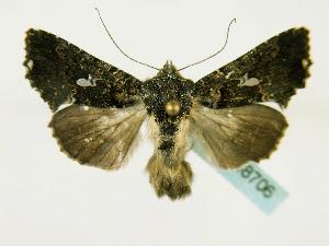 (Ctenoplusia melanocephala - BC ZSM Lep 48706)  @14 [ ] CreativeCommons - Attribution Non-Commercial Share-Alike (2011) Axel Hausmann SNSB, Zoologische Staatssammlung Muenchen