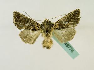 (Ctenoplusia melanocephala - BC ZSM Lep 48776)  @14 [ ] CreativeCommons - Attribution Non-Commercial Share-Alike (2011) Axel Hausmann SNSB, Zoologische Staatssammlung Muenchen