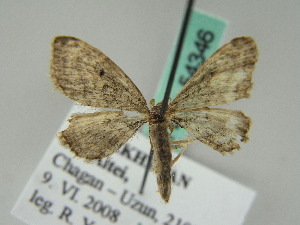 (Eupithecia AH02Kz - BC ZSM Lep 54346)  @11 [ ] CreativeCommons - Attribution Non-Commercial Share-Alike (2011) Axel Hausmann SNSB, Zoologische Staatssammlung Muenchen