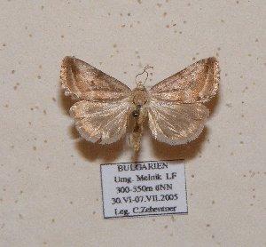 ( - BC ZSM Lep 57004)  @12 [ ] Copyright (2011) Axel Hausmann/Bavarian State Collection of Zoology (ZSM) SNSB, Zoologische Staatssammlung Muenchen
