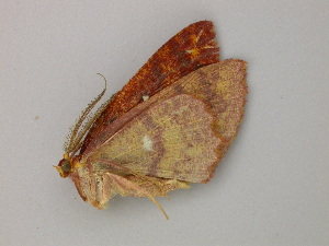 (Cyclophora AH03Pe - BC ZSM Lep add 0109)  @12 [ ] CreativeCommons - Attribution Non-Commercial Share-Alike (2011) Axel Hausmann SNSB, Zoologische Staatssammlung Muenchen