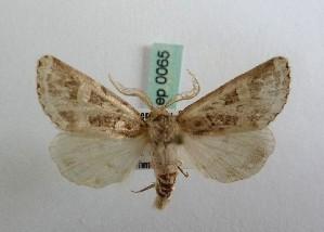(Leucochlaena jordana - RCLL 0065)  @14 [ ] CreativeCommons - Attribution Non-Commercial No Derivatives (2011) Lutz Lehmann SNSB, Zoologische Staatssammlung Muenchen