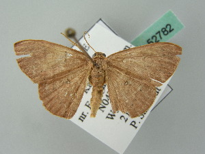 (Cyclophora AH01FG - BC ZSM Lep 52782)  @11 [ ] CreativeCommons - Attribution Non-Commercial Share-Alike (2011) Axel Hausmann SNSB, Zoologische Staatssammlung Muenchen