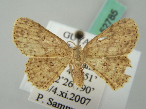 (Cyclophora AH02FG - BC ZSM Lep 52785)  @11 [ ] CreativeCommons - Attribution Non-Commercial Share-Alike (2011) Axel Hausmann SNSB, Zoologische Staatssammlung Muenchen