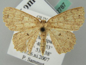 (Cyclophora AH03FG - BC ZSM Lep 52787)  @11 [ ] CreativeCommons - Attribution Non-Commercial Share-Alike (2011) Axel Hausmann SNSB, Zoologische Staatssammlung Muenchen