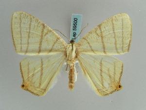 (Brachurapteryx - BC ZSM Lep 59500)  @14 [ ] CreativeCommons - Attribution Non-Commercial Share-Alike (2011) Axel Hausmann SNSB, Zoologische Staatssammlung Muenchen