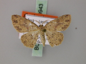 (Cyclophora couturieri - BC ZSM Lep 59943)  @13 [ ] CreativeCommons - Attribution Non-Commercial Share-Alike (2011) Axel Hausmann SNSB, Zoologische Staatssammlung Muenchen
