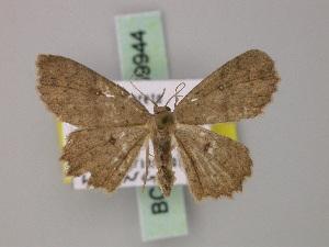 (Cyclophora nigrescens - BC ZSM Lep 59944)  @13 [ ] CreativeCommons - Attribution Non-Commercial Share-Alike (2011) Axel Hausmann SNSB, Zoologische Staatssammlung Muenchen