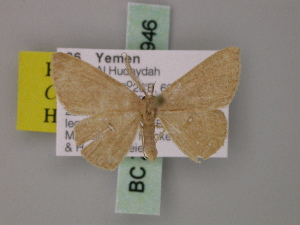 (Cyclophora staudei - BC ZSM Lep 59946)  @14 [ ] CreativeCommons - Attribution Non-Commercial Share-Alike (2011) Axel Hausmann SNSB, Zoologische Staatssammlung Muenchen