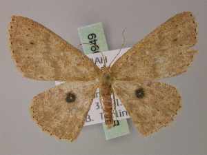 (Cyclophora melantroches - BC ZSM Lep 59949)  @13 [ ] CreativeCommons - Attribution Non-Commercial Share-Alike (2011) Axel Hausmann SNSB, Zoologische Staatssammlung Muenchen