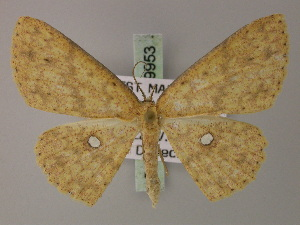 (Cyclophora argyromma - BC ZSM Lep 59953)  @14 [ ] CreativeCommons - Attribution Non-Commercial Share-Alike (2011) Axel Hausmann SNSB, Zoologische Staatssammlung Muenchen