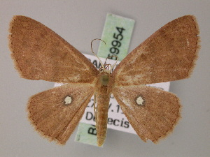 (Cyclophora argentosa - BC ZSM Lep 59954)  @13 [ ] CreativeCommons - Attribution Non-Commercial Share-Alike (2011) Axel Hausmann SNSB, Zoologische Staatssammlung Muenchen