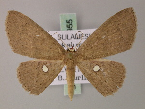 (Cyclophora scioessa - BC ZSM Lep 59955)  @13 [ ] CreativeCommons - Attribution Non-Commercial Share-Alike (2011) Axel Hausmann SNSB, Zoologische Staatssammlung Muenchen