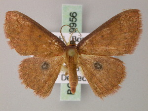 (Cyclophora clandestina - BC ZSM Lep 59956)  @15 [ ] CreativeCommons - Attribution Non-Commercial Share-Alike (2011) Axel Hausmann SNSB, Zoologische Staatssammlung Muenchen