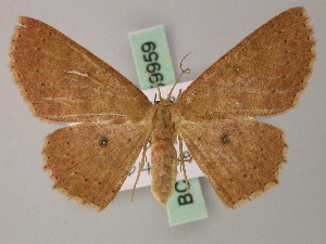 (Cyclophora rubrior - BC ZSM Lep 59959)  @13 [ ] CreativeCommons - Attribution Non-Commercial Share-Alike (2011) Axel Hausmann SNSB, Zoologische Staatssammlung Muenchen