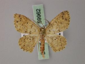(Cyclophora lichenea - BC ZSM Lep 59962)  @13 [ ] CreativeCommons - Attribution Non-Commercial Share-Alike (2011) Axel Hausmann SNSB, Zoologische Staatssammlung Muenchen