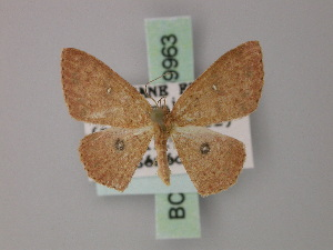 (Cyclophora subcarnearia - BC ZSM Lep 59963)  @11 [ ] CreativeCommons - Attribution Non-Commercial Share-Alike (2011) Axel Hausmann SNSB, Zoologische Staatssammlung Muenchen