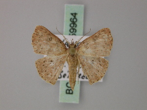 (Cyclophora anablemma - BC ZSM Lep 59964)  @13 [ ] CreativeCommons - Attribution Non-Commercial Share-Alike (2011) Axel Hausmann SNSB, Zoologische Staatssammlung Muenchen