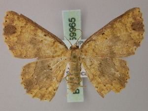 (Cyclophora nebuligera - BC ZSM Lep 59965)  @13 [ ] CreativeCommons - Attribution Non-Commercial Share-Alike (2011) Axel Hausmann SNSB, Zoologische Staatssammlung Muenchen