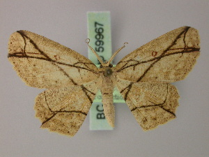 (Cyclophora decussata - BC ZSM Lep 59967)  @13 [ ] CreativeCommons - Attribution Non-Commercial Share-Alike (2011) Axel Hausmann SNSB, Zoologische Staatssammlung Muenchen