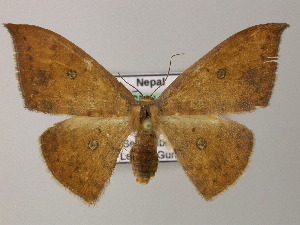 (Cyclophora AH02Ne - BC ZSM Lep 47872)  @14 [ ] CreativeCommons - Attribution Non-Commercial Share-Alike (2011) Axel Hausmann SNSB, Zoologische Staatssammlung Muenchen