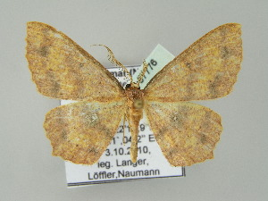 (Cyclophora AH01My - BC ZSM Lep add 57776)  @13 [ ] CreativeCommons - Attribution Non-Commercial Share-Alike (2011) Axel Hausmann SNSB, Zoologische Staatssammlung Muenchen