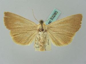 (Arenostola - BC ZSM Lep 53280)  @15 [ ] Copyright (2011) Axel Hausmann/Bavarian State Collection of Zoology (ZSM) SNSB, Zoologische Staatssammlung Muenchen