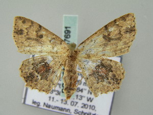 (Cyclophora tharossa - BC ZSM Lep 57691)  @14 [ ] CreativeCommons - Attribution Non-Commercial Share-Alike (2011) Axel Hausmann SNSB, Zoologische Staatssammlung Muenchen