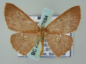 (Cyclophora AH02Me - BC ZSM Lep 57694)  @14 [ ] CreativeCommons - Attribution Non-Commercial Share-Alike (2011) Axel Hausmann SNSB, Zoologische Staatssammlung Muenchen
