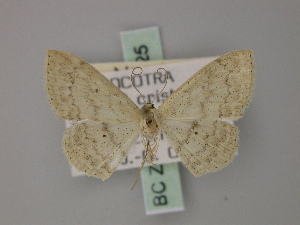 (Scopula dhofarata - BC ZSM Lep 60525)  @13 [ ] CreativeCommons - Attribution Non-Commercial Share-Alike (2011) Axel Hausmann SNSB, Zoologische Staatssammlung Muenchen
