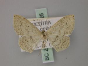 (Scopula dhofarata - BC ZSM Lep 60525)  @13 [ ] CreativeCommons - Attribution Non-Commercial Share-Alike (2011) Axel Hausmann SNSB, Zoologische Staatssammlung Muenchen