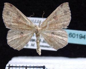 (Cyclophora porata - BC ZSM Lep 60194)  @15 [ ] Copyright (2011) Axel Hausmann/Bavarian State Collection of Zoology (ZSM) SNSB, Zoologische Staatssammlung Muenchen