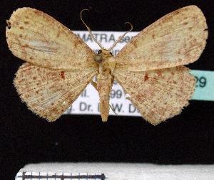 (Cyclophora rotundata - BC ZSM Lep 60229)  @13 [ ] Copyright (2011) Axel Hausmann/Bavarian State Collection of Zoology (ZSM) SNSB, Zoologische Staatssammlung Muenchen