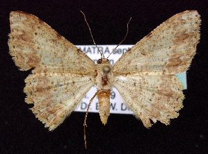 (Luxiaria emphatica - BC ZSM Lep 60238)  @14 [ ] Copyright (2011) Axel Hausmann/Bavarian State Collection of Zoology (ZSM) SNSB, Zoologische Staatssammlung Muenchen
