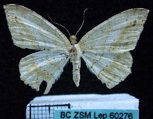 (Eutoea - BC ZSM Lep 60276)  @12 [ ] Copyright (2011) Axel Hausmann/Bavarian State Collection of Zoology (ZSM) SNSB, Zoologische Staatssammlung Muenchen