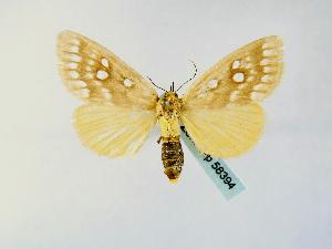 (Rhanidophora odontophora - BC ZSM Lep 58394)  @12 [ ] CreativeCommons - Attribution Non-Commercial Share-Alike (2011) Axel Hausmann SNSB, Zoologische Staatssammlung Muenchen