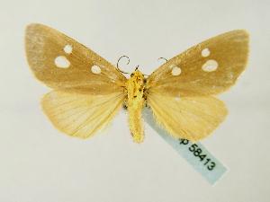 (Rhanidophora flaviguttaGB01Za - BC ZSM Lep 58413)  @13 [ ] CreativeCommons - Attribution Non-Commercial Share-Alike (2011) Axel Hausmann SNSB, Zoologische Staatssammlung Muenchen