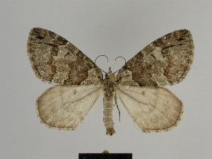 (Hydriomena ruberata - SE MNC Lep 00767)  @15 [ ] Copyright (2011) Sven Erlacher Museum of Natural History Chemnitz