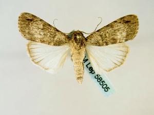 (Tachosa aspera - BC ZSM Lep 58505)  @14 [ ] CreativeCommons - Attribution Non-Commercial Share-Alike (2011) Axel Hausmann SNSB, Zoologische Staatssammlung Muenchen