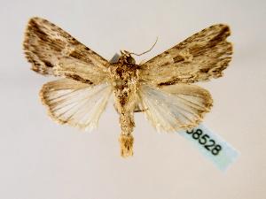 (Antachara ecuadoriensis - BC ZSM Lep 58528)  @14 [ ] CreativeCommons - Attribution Non-Commercial Share-Alike (2011) Axel Hausmann SNSB, Zoologische Staatssammlung Muenchen