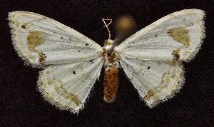 (Scopula insolata - BC ZSM Lep 62905)  @13 [ ] Copyright (2011) Axel Hausmann/Bavarian State Collection of Zoology (ZSM) SNSB, Zoologische Staatssammlung Muenchen
