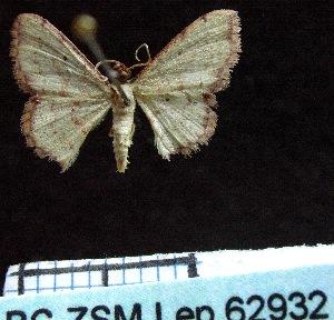 ( - BC ZSM Lep 62932)  @13 [ ] Copyright (2011) Axel Hausmann/Bavarian State Collection of Zoology (ZSM) SNSB, Zoologische Staatssammlung Muenchen